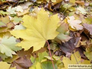 Кленовый лист осенний